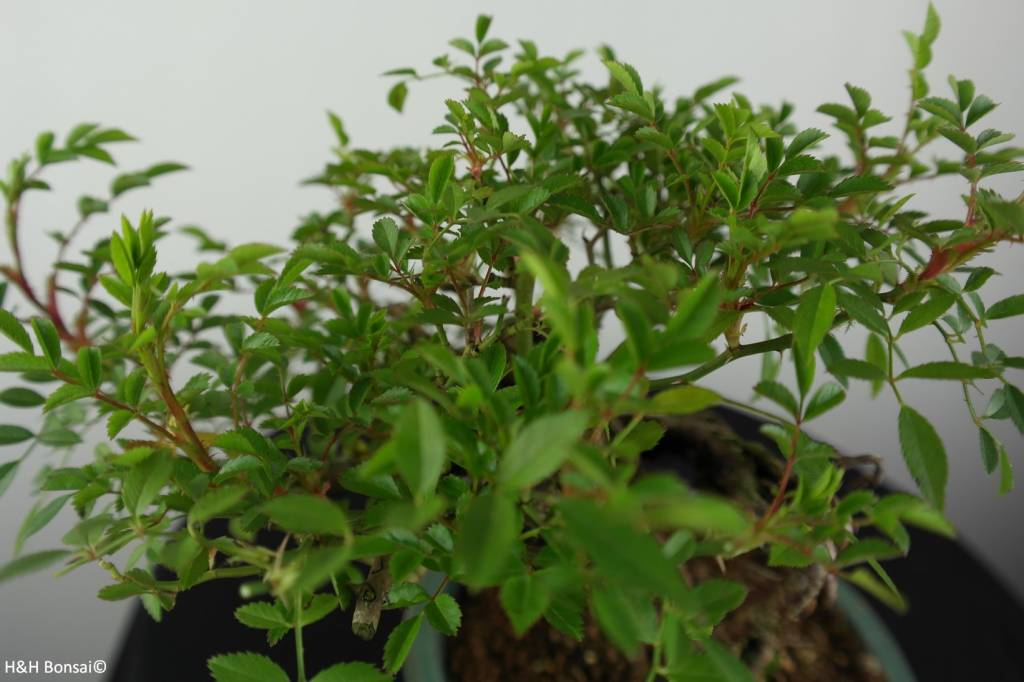 Bonsai Rosa sp., Roos, nr. 6525