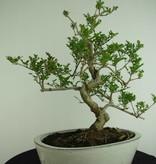 Bonsai Fraxinus sp., Es, nr. 6732