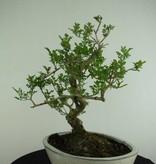 Bonsai Ash tree, Fraxinus sp., no. 6732