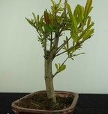 Bonsai Granatapfel, Punica granatum, nr. 6922