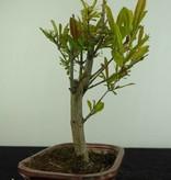 Bonsai Punica granatum, Granaatappel, nr. 6922