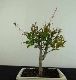 Bonsai Pomegranate, Punica granatum, no. 6925