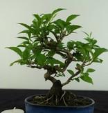 Bonsai Shohin Styrax japonicus, nr. 6961