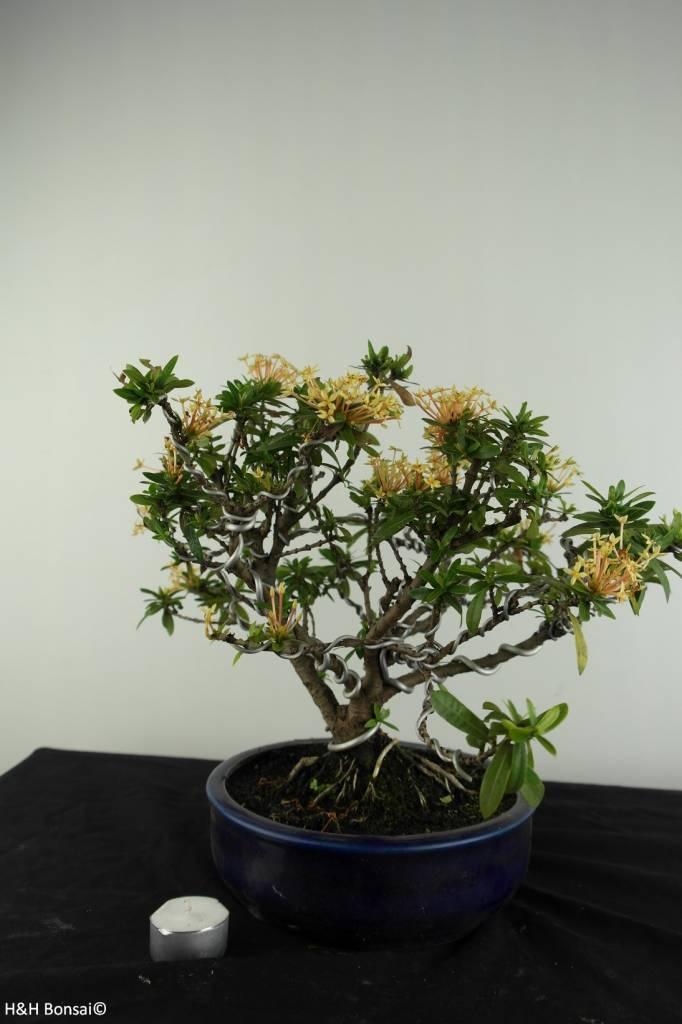 Bonsai Ixora, nr. 6969