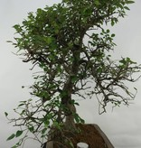 Bonsai Chinese Elm, Ulmus, no. 7071
