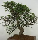 Bonsai Chin. Ulme, Ulmus, nr. 7071