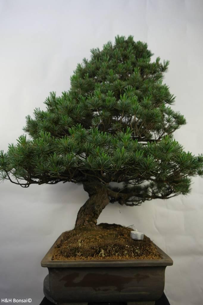 Bonsai Pinus pentaphylla, Japanse witte den, nr. 7072