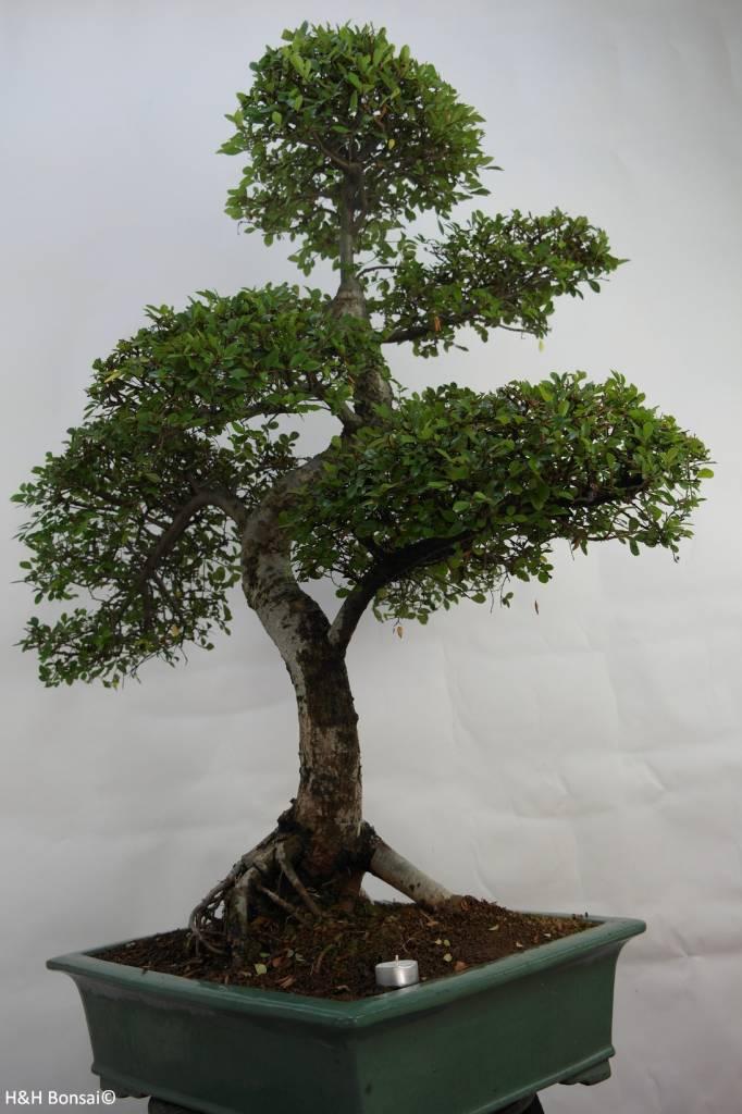 Bonsai Chin. Ulme, Ulmus, nr. 7094