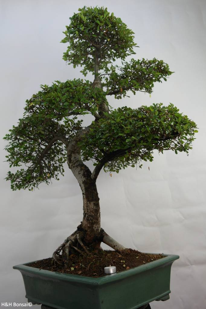Bonsai Chinese Elm, Ulmus, no. 7094