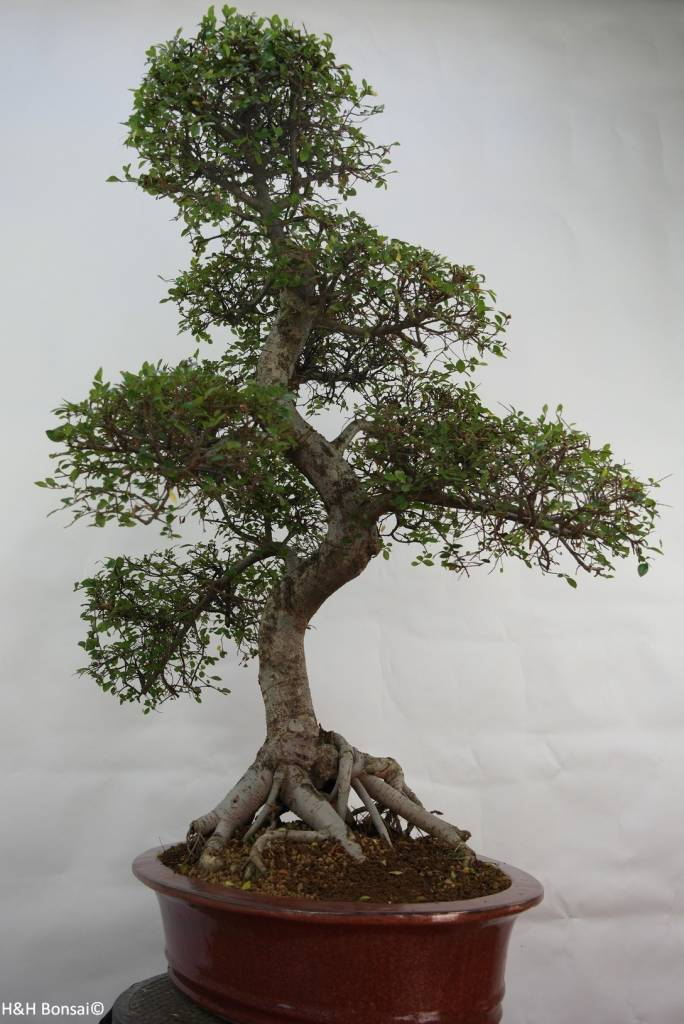 Bonsai Chin. Ulme, Ulmus, nr. 7095