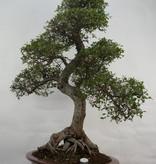 Bonsai Orme de Chine, Ulmus, no. 7095