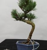 Bonsai Shohin Mädchenkiefer, Pinus pentaphylla, nr. 7106
