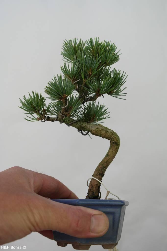 Bonsai Shohin Pinus pentaphylla, Japanse witte den, nr. 7106