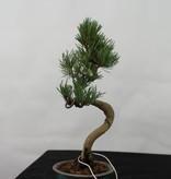 Bonsai Shohin Mädchenkiefer, Pinus pentaphylla, nr. 7108