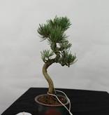 Bonsai Shohin Japanese White Pine, Pinus pentaphylla, no. 7108