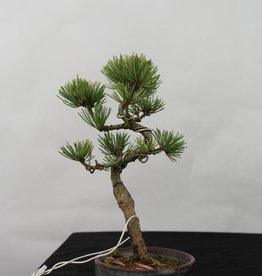 Bonsai Shohin Mädchenkiefer, Pinus pentaphylla, nr. 7109