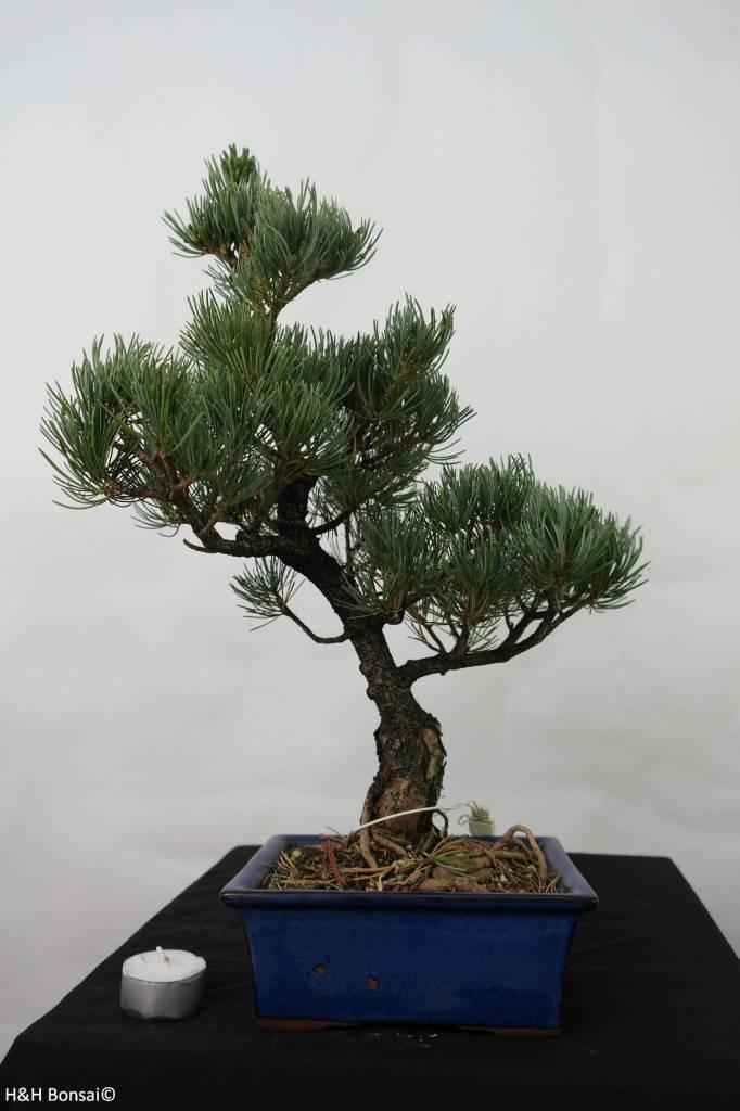 Bonsai Mädchenkiefer, Pinus pentaphylla, nr. 7110