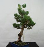 Bonsai Japanese White Pine, Pinus pentaphylla, no. 7111