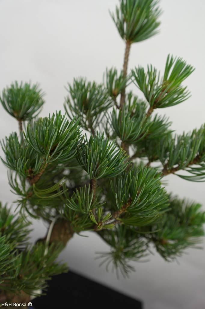 Bonsai Mädchenkiefer, Pinus pentaphylla, nr. 7111