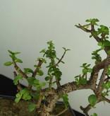 Bonsai Jadebaum, Portulacaria afra, nr. 7134