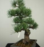 Bonsai Pinus pentaphylla, Japanse witte den, nr. 7155