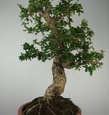 Bonsai Carmona macrophylla, Fukien thee, nr. 7158