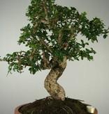 Bonsai Fukien tea, Carmona macrophylla, no. 7158