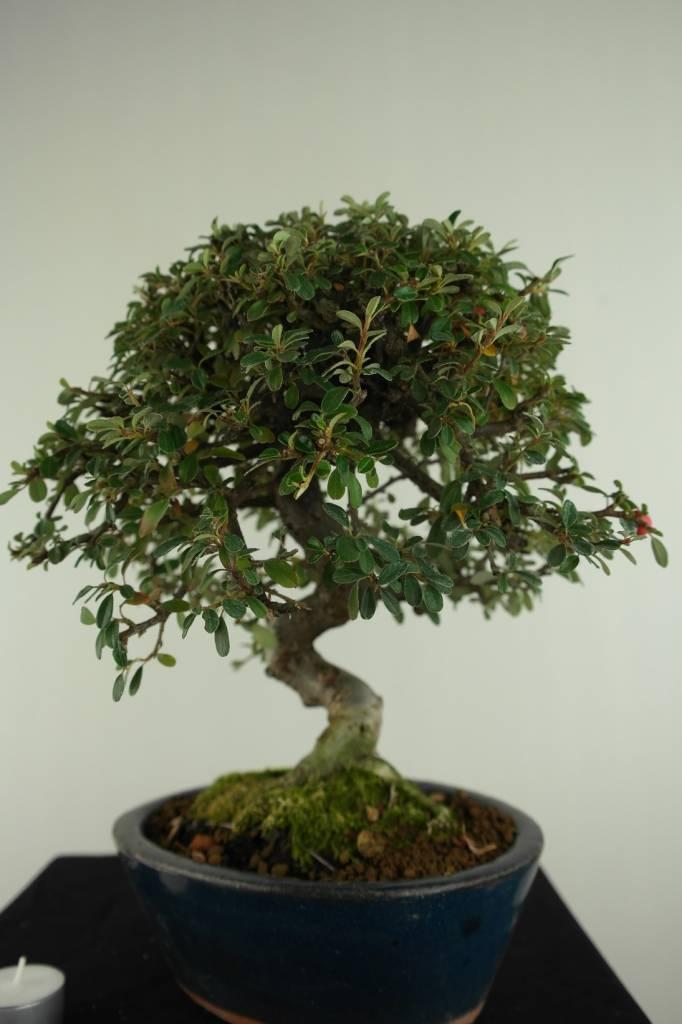 Bonsai Cotoneaster, Dwergmispel, nr. 6618