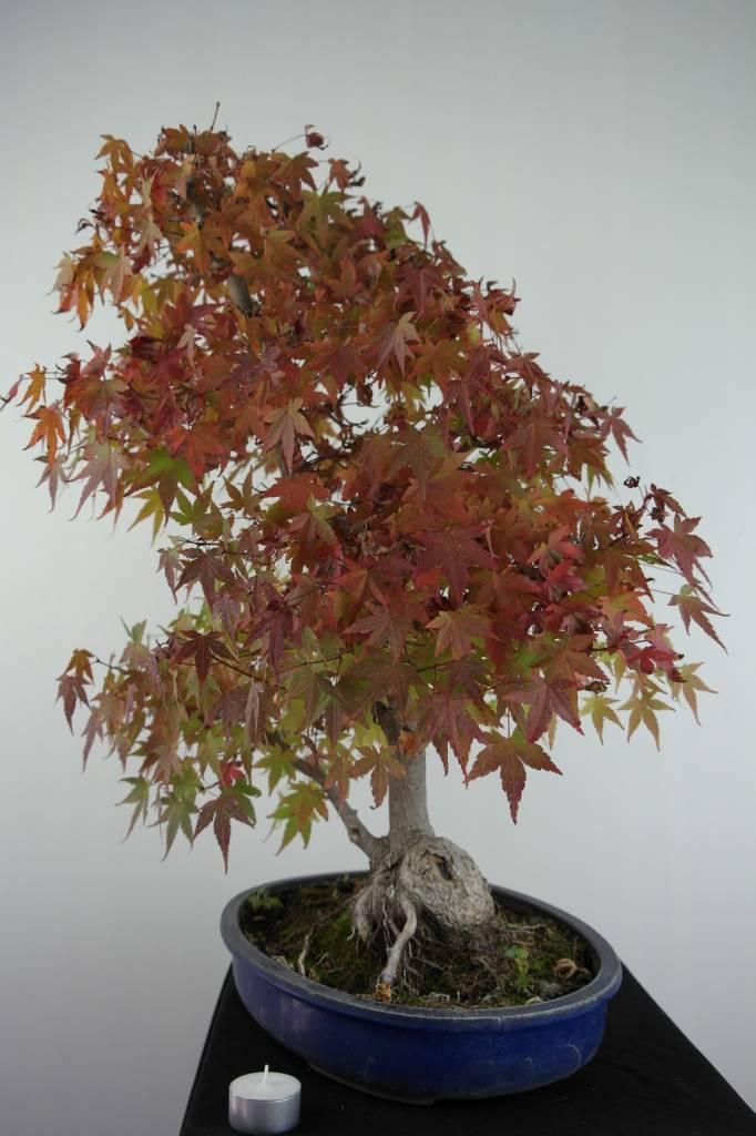 Bonsai Jap. Fächerahorn, Acer palmatum, nr. 6839