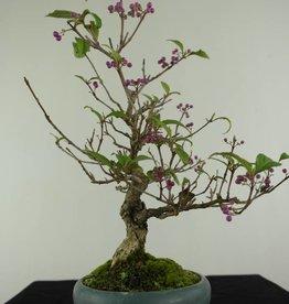 Bonsai Shohin Liebesperlenstrauch, Callicarpa japonica, nr. 6960