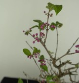 Bonsai Shohin Callicarpa japonica, Japanse schoonvrucht, nr. 6960