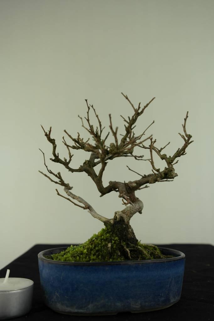 Bonsai Shohin Styrax japonicus,Japanse storaxboom, nr. 6961