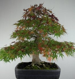 Bonsai Japanese maple Seigen, Acer palmatum Seigen, no. 7053