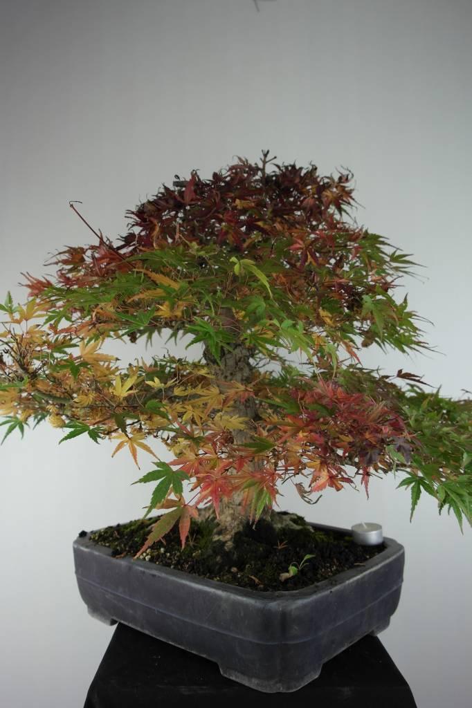 Bonsai Acer palmatum Seigen, Japanse esdoorn, nr. 7053