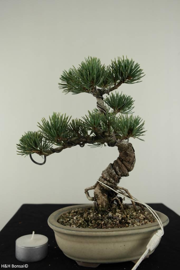 Bonsai Shohin Japanese White Pine, Pinus pentaphylla, no. 7064