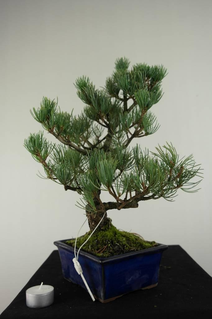 Bonsai Mädchenkiefer, Pinus pentaphylla, nr. 7074