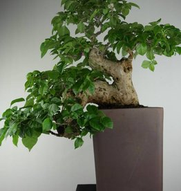 Bonsai Bougainvillea glabra, nr. 7162