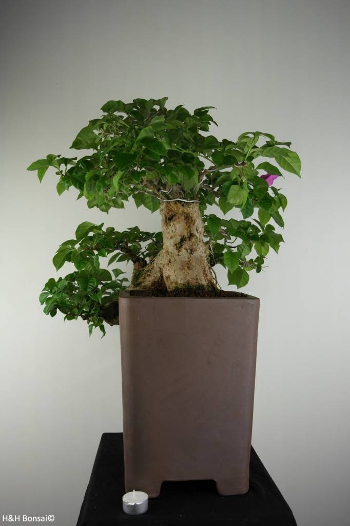BonsaiBougainvillea glabra, nr. 7162