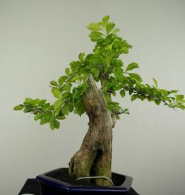 Bonsai Duranta, nr. 7176