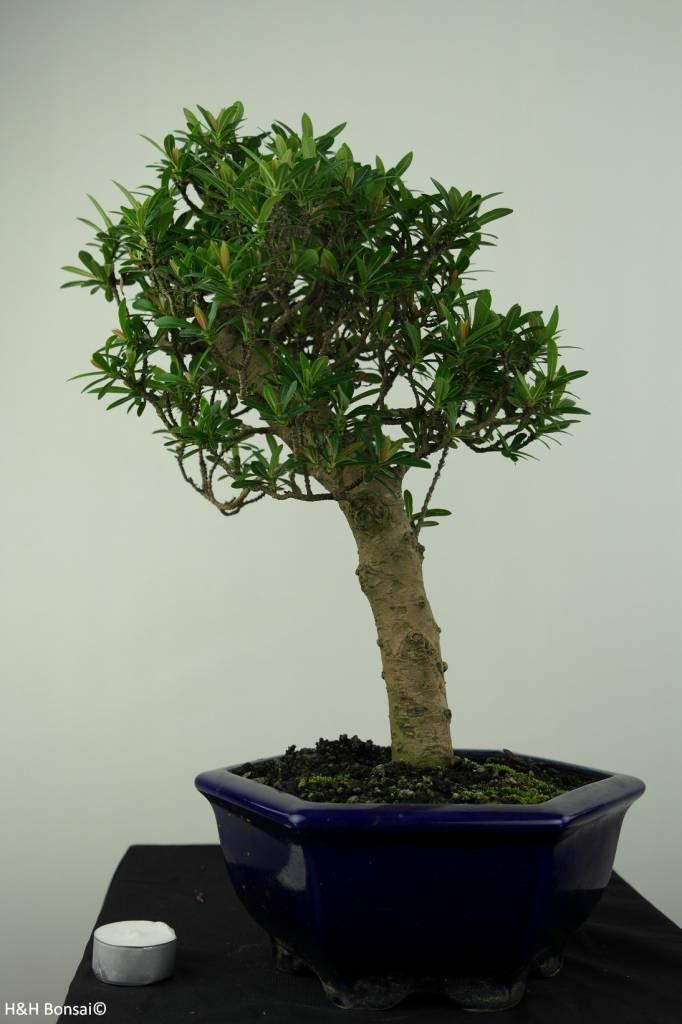 Bonsai Ixora, nr. 7179