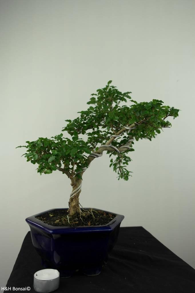 Bonsai Ligustrumsinense, nr. 7184