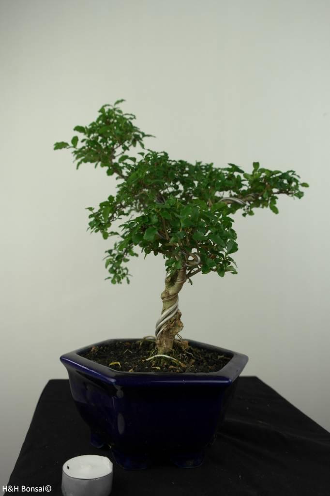 Bonsai Ligustrumsinense, no. 7184