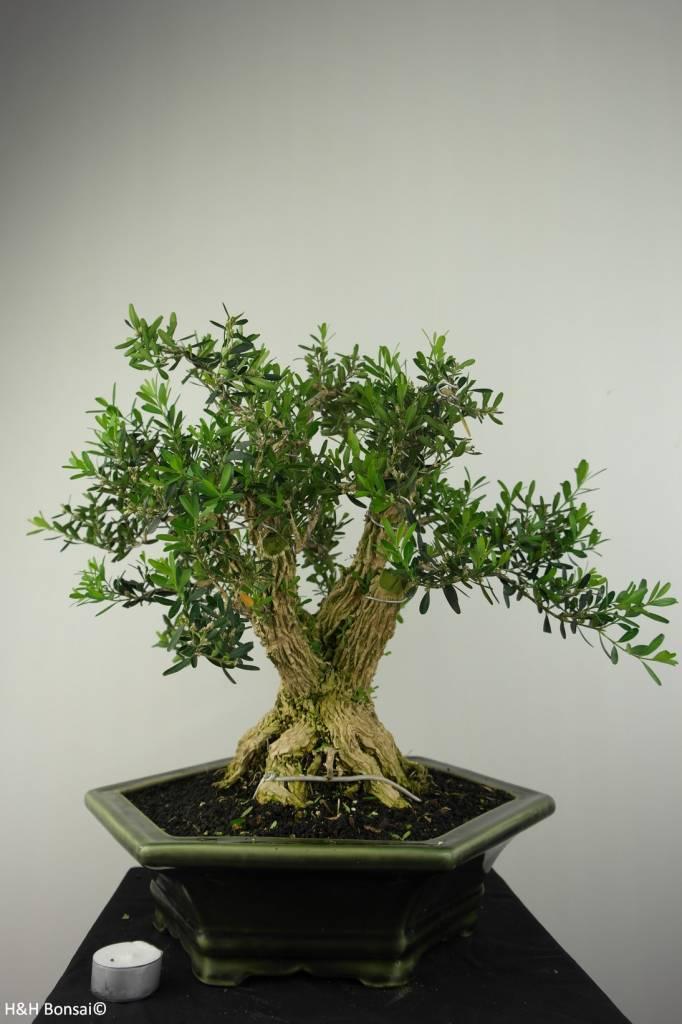Bonsai Buchsbaum, Buxus harlandii, nr. 7187