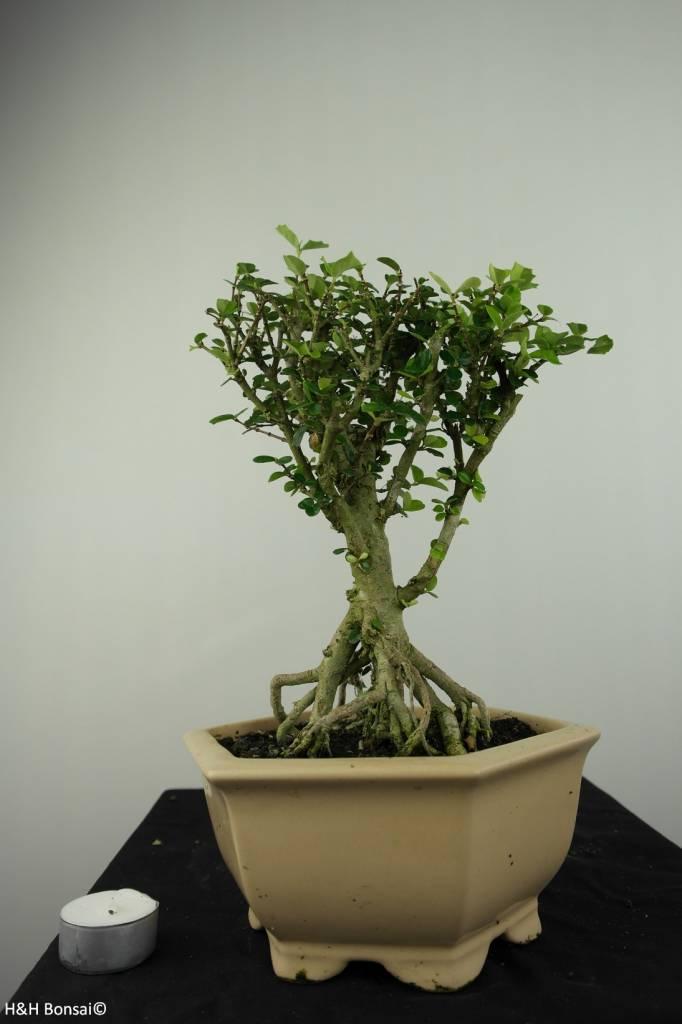 Bonsai Malpighia coccigera, nr. 7193