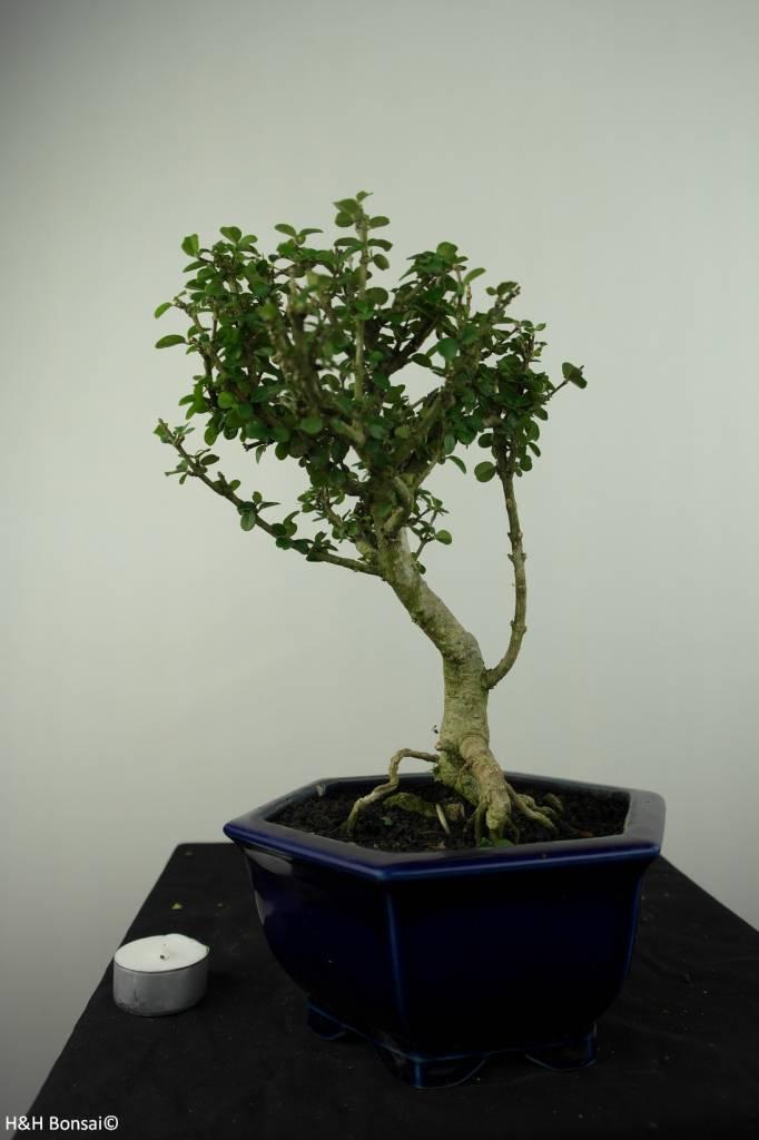 Bonsai Malpighia coccigera, nr. 7194
