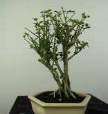 Bonsai Malpighia coccigera, nr. 7195