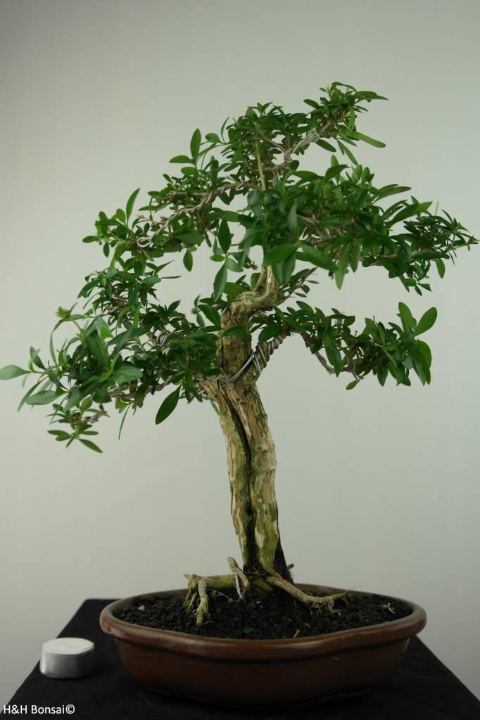 Bonsai Junischnee, Serissa foetida, nr. 7199