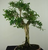 Bonsai Snow Rose, Serissa foetida, no. 7199