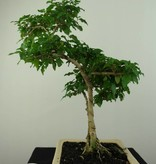Bonsai Ligustrum sinense, nr. 7203B