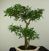 Bonsai Serissa foetida, nr. 7217